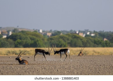 A blackbuck walking in a green background and morning light in grassland of tal chappar blackbuck sanctuary. This sanctuary also famous for raptors. males are black and female are in orange color