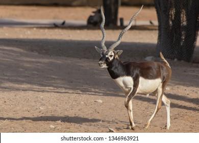 A Blackbuck walks along the desert trail. An alternate name is the Indian Antelope where it is a resident (Antilope cervicapra).