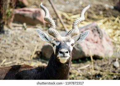 blackbuck in the zoo,animal,deer.1