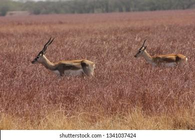 blackbucks antelope at blackbuck national park, velavadar, Gujarat