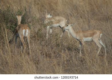 Blackbucks (Antilope cervicapra). Female and young male in captive conditions. Devalia. Sasan Gir. Gujarat. India.