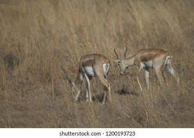 Blackbucks (Antilope cervicapra). Males in captive conditions. Devalia. Sasan Gir. Gujarat. India.