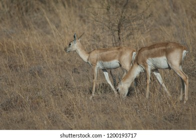 Blackbucks (Antilope cervicapra). Pair in captive conditions. Devalia. Sasan Gir. Gujarat. India.