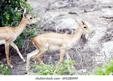 Blackbucks at Bannerghatta Biological Park, Bengaluru.