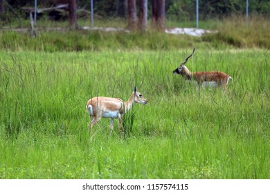 blackbucks in the field