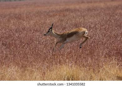blackbucks jumping and crossing grassland at blackbuck national park, velavadar, Gujarat
