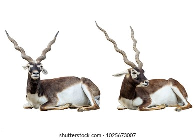 Blackbucks on a white background