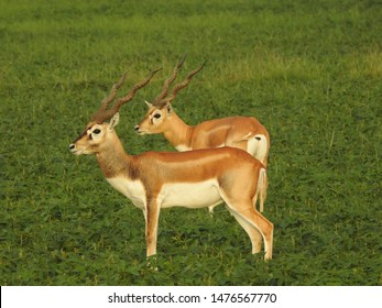 The blackbuck(Scientific :Antilope cervicapra), also known as the Indian antelope, is an antelope found in India, Nepal, and Pakistan. The blackbuck is the sole extant member of the genus Antilope.