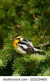 A Blackburnian Warble in a fir tree