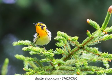 Blackburnian warbler in the coniferous forests of northern Quebec Canada in early spring. The yolk yellow throat stands out from the green surroundings.