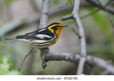 Blackburnian Warbler (Dendroica fusca), Spring male in perfect breeding plumage in New York's Central Park.