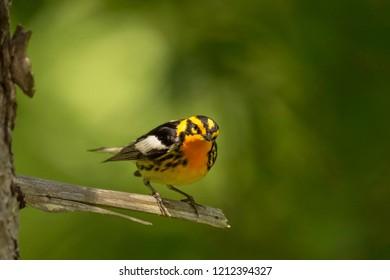 Blackburnian Warbler exploring