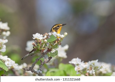 A blackburnian warbler, hides behind an apple blossom. Bright yellow head with black stripes stands out on from the white blossoms of the tree.
