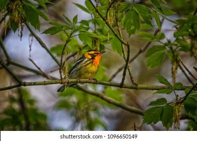 Blackburnian Warbler Male