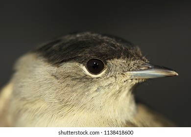 Blackcap male portrail