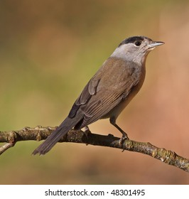Blackcap, Sylvia atricapilla on a branch. Shallow depth of field and background blurred