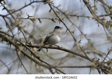 Blackcap, Sylvia atricapilla, Single male on branch singing, Warwickshire, April 2014