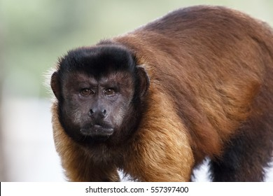 Black-capped Capuchin in Singapore zoo