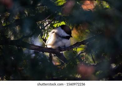 Black-capped Chickadee in a cedar tree and sunlight