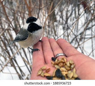 A Black-capped Chickadee eats seeds from a hand in winter