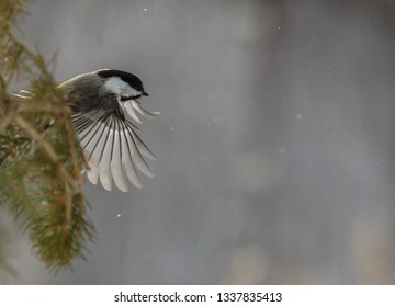 Black-Capped Chickadee Featured In Winter Scenes