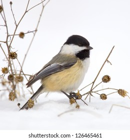 A Black-capped Chickadee feeding on plants in the snow.