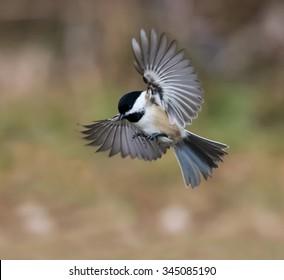 Black-Capped Chickadee in Flight in Fall