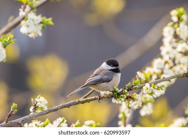 Black-capped Chickadee in a flowering plum tree in Spring (Poecile atricapillus)