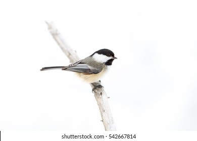 Black-capped Chickadee isolated on white background perched on branch in winter