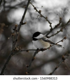 Black-capped Chickadee on a branch in winter