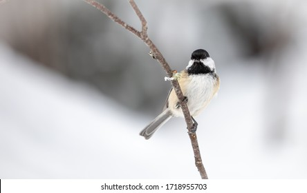 Black-Capped Chickadee on a Snowy Branch
