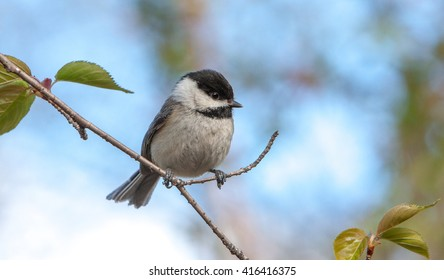Black-Capped Chickadee on a thin tree branch