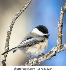 Black-capped chickadee perched on branch