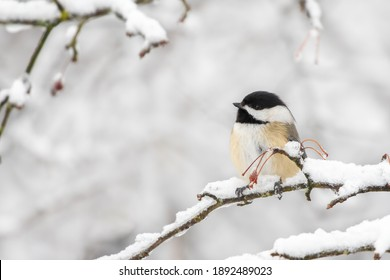 Black-capped Chickadee perched on a branch and looks like a little egg