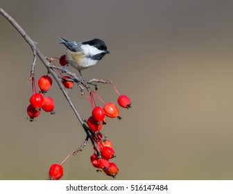 Black-Capped Chickadee Perched on Branch with Red Berries in Fall