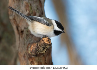Black-capped Chickadee perched on a broken tree branch. Ashbridges bay Park, Toronto, Ontario, Canada.