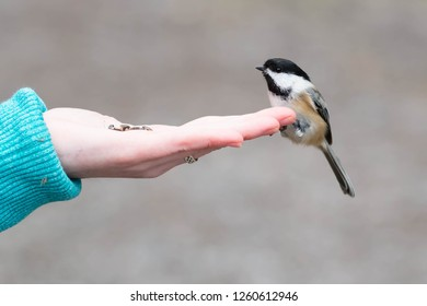 Black-capped Chickadee perched on an outstretched hand holding seeds for it to eat. Lynde Shores Conservation Area, Whitby, Ontario, Canada.