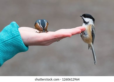 Black-capped Chickadee perched on an outstretched hand watching a Red-breasted Nuthatch grab a seed. Lynde Shores Conservation Area, Whitby, Ontario, Canada.