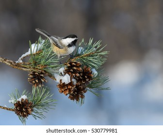Black-Capped Chickadee Perched on Pine Tree Branch with Cones in Winter