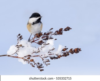 Black-Capped Chickadee Perched on a Snowy Twig in Winter