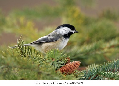Black-capped Chickadee perched in spruce tree
