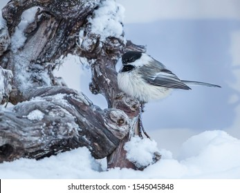 Black-capped Chickadee Perching in Winter