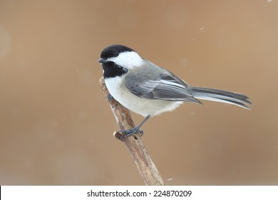 Black-capped Chickadee (poecile atricapilla) on a branch in falling snow
