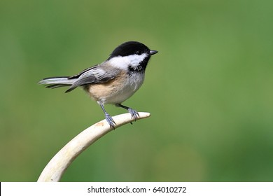 Black-capped Chickadee (poecile atricapilla) on an antler with a colorful background