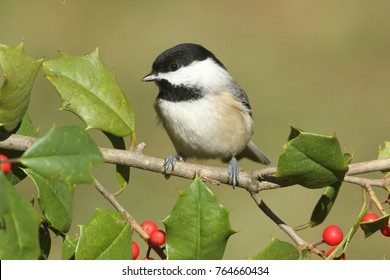 Black-capped Chickadee (poecile atricapilla) on a holly branch with berries