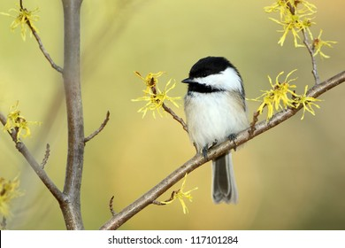 Black-capped Chickadee (Poecile atricapilla) perched in a flowering Witch Hazel shrub in autumn - Ontario, Canada