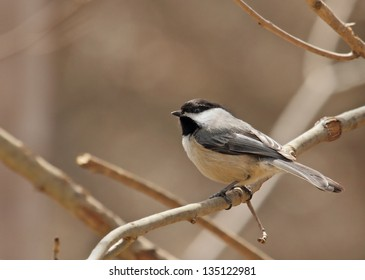 Black-capped chickadee, Poecile atricapilla, perched on a tree branch with copy space