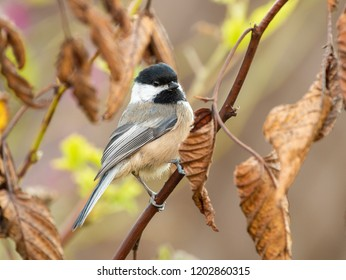 a Black-capped Chickadee (Poecile atricapillus) perched on a branch with brown leaves in Autumn