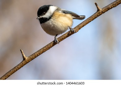 Black-capped Chickadee (Poecile atricapillus) perched on a tree branch in the winter.