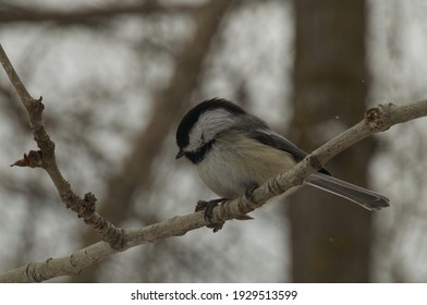 Black-capped Chickadee (poecile atricapillus) perched on a branch